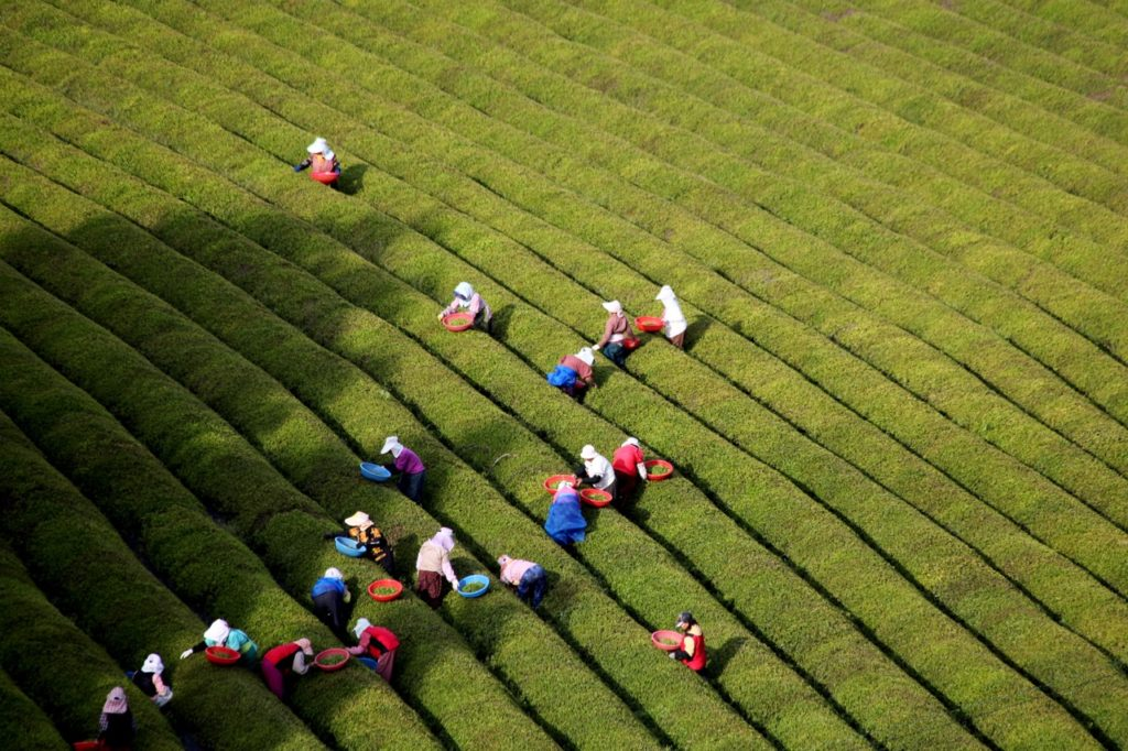 Green tea field workers at Boseong.