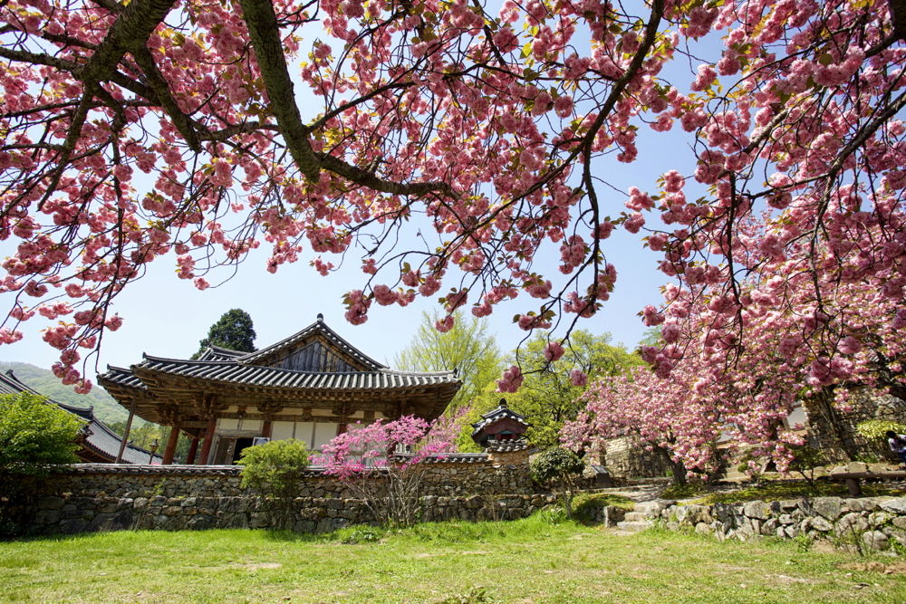 Spring blossoms are seen at a temple in South Korea. This is one of the best creative photos Simon Bond took in 2018.