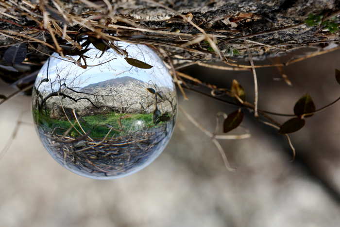 A Lensball photo taken at a field containing cherry blossom trees in South Korea.