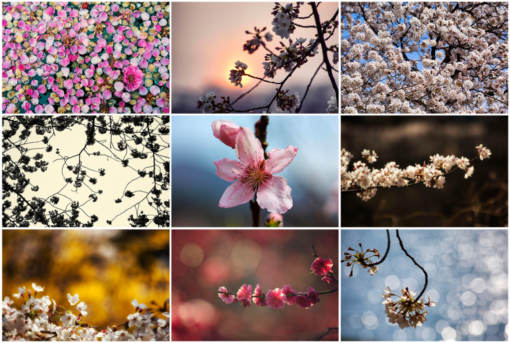 A selection of cherry blossom photos taken in South Korea.