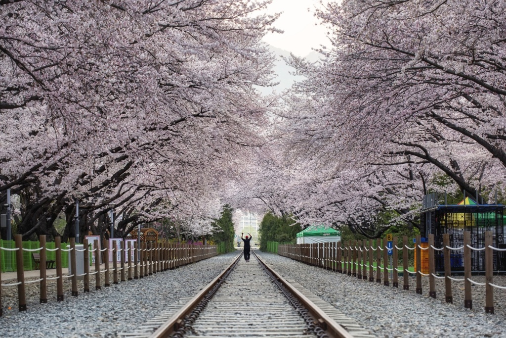 A photo of cherry blossoms at Jinhae in South Korea.