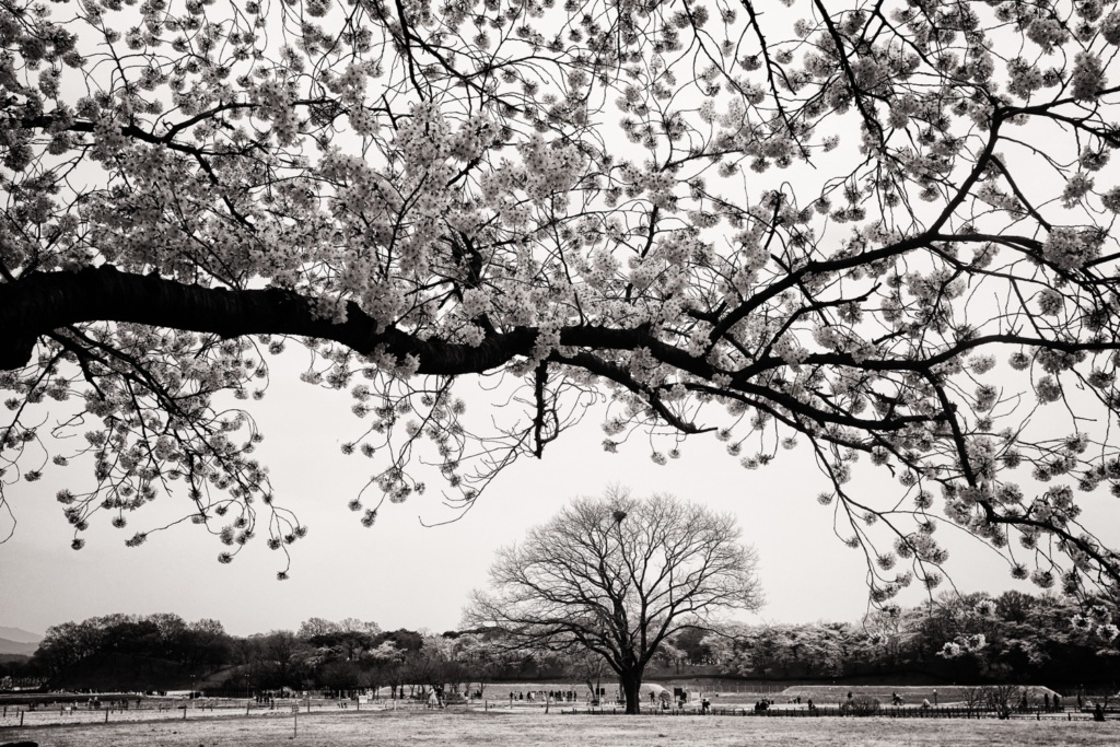 Cherry blossom trees in Gyeongju.