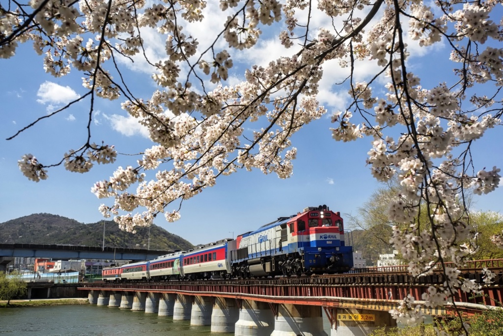 South Korea during Spring. A photo taken in Suncheon. A train passes cherry blossom trees.